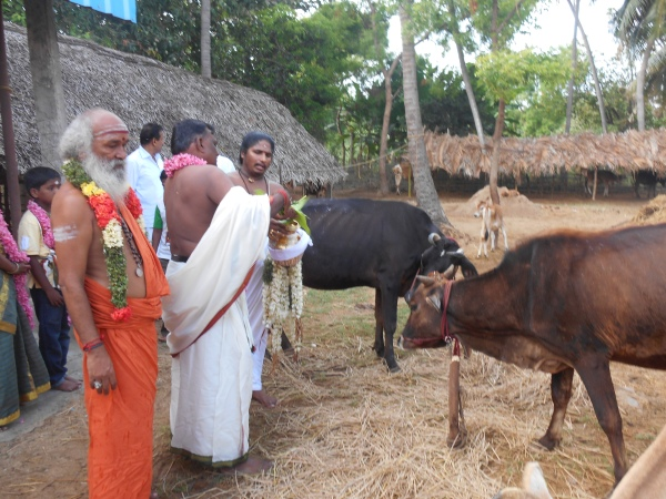 aged cows receive attention at Sri Sai Agastiya Foundation